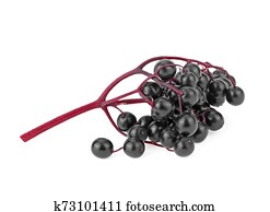 Elderberries with twig isolated on white background. Black elderberry fresh fruit.