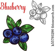 Blueberry vector sketch berry fruit icon