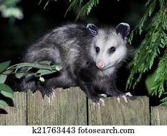 Virginia Opossum at Night