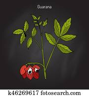 Guarana branch with fruit and leaves