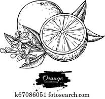 Orange vector drawing. Summer fruit engraved illustration. Isolated hand drawn