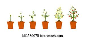 Plant growth stages in in ceramic pot. Tree with green leaf and red fruit. Planting vegetables concept presentations on white background.
