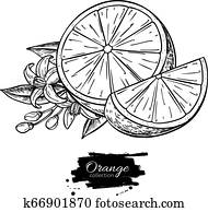 Orange vector drawing. Summer fruit engraved illustration. Isolated hand drawn orange