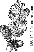 Acorn or Oak nut with leaves, vintage engraving.
