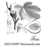 Fig tree, botanical vintage engraving