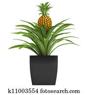 Fruiting pineapple plant